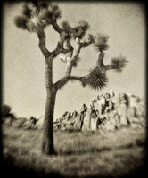 Joshua Tree -- Holga
