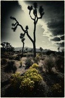 Joshua Tree -- Colorized