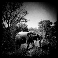 Elephant -- Krueger National Park